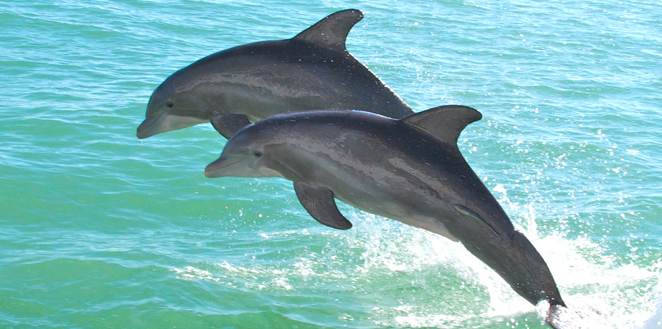 Photo of Florida Tech Helps Georgia Aquarium Complete Dolphin Study in the Indian River Lagoon