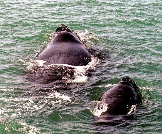 whale eye mutation