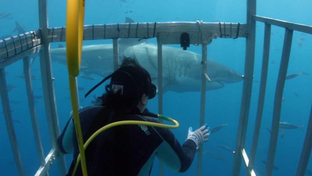 """Florida Tech's Toby Daly-Engel prepares to get a skin sample from a white shark in the waters of Vizcaino Bay in Mexico during filming of the Shark Week program, """"Great White Shark Babies."""" Photo courtesy of Discovery Communications."""
