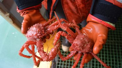 Photo of A Warmer Planet May Lead to the King Crab's Migration