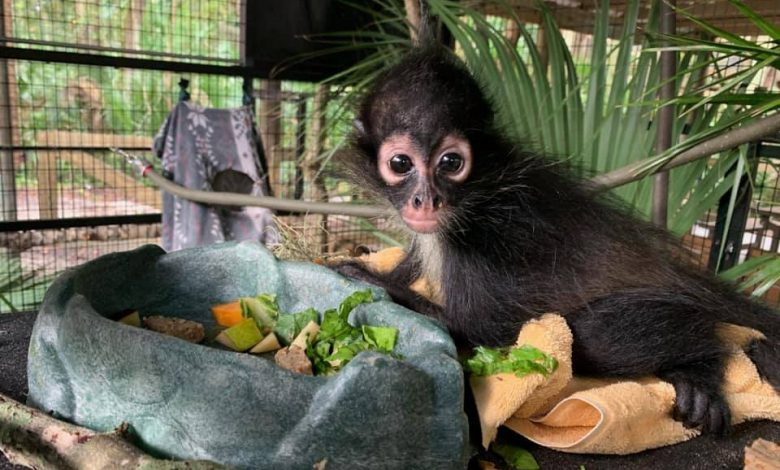 Photo of Florida Tech Joins Forces with Brevard Zoo to Re-home Endangered Spider Monkey