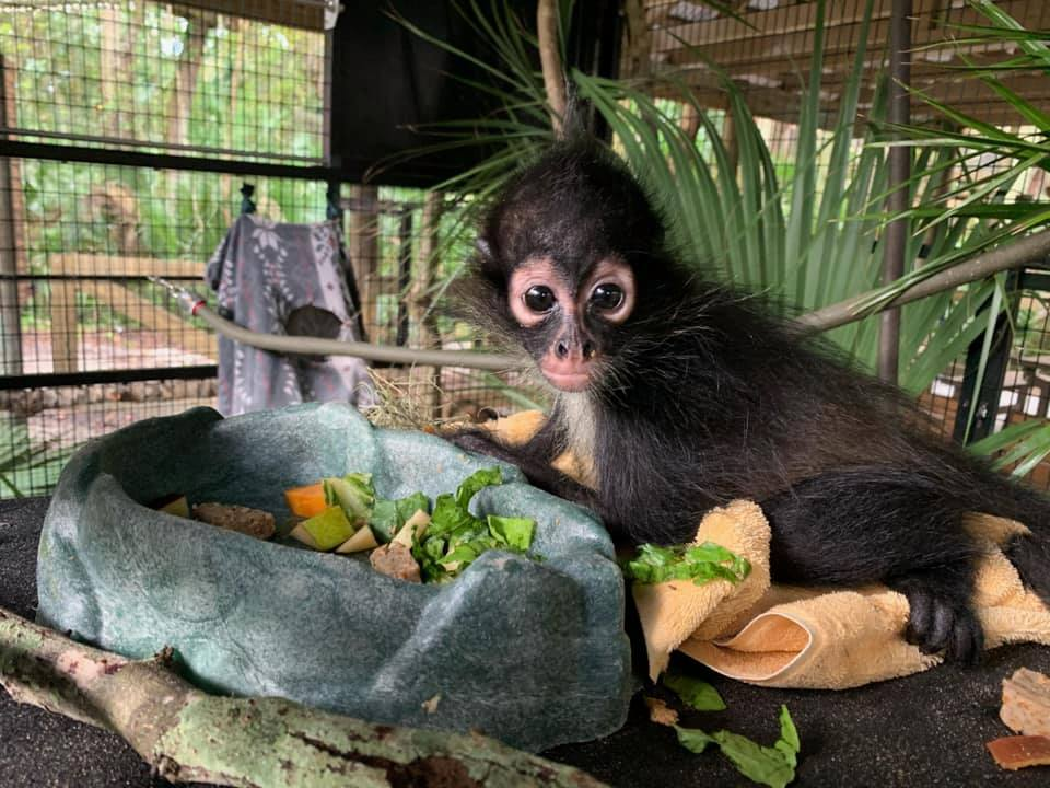 A small spider monkey eating lettuce out a rock-like bowl