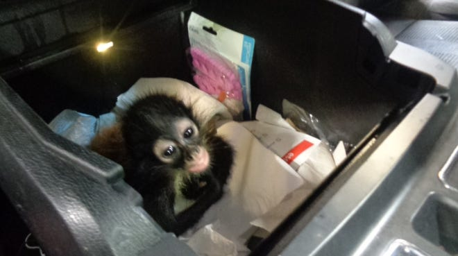 Baby spider monkey in the center console of a vehicle