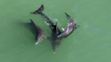 Photo of University Study Examines Red Tide's Effect on Dophins in Gulf of Mexico