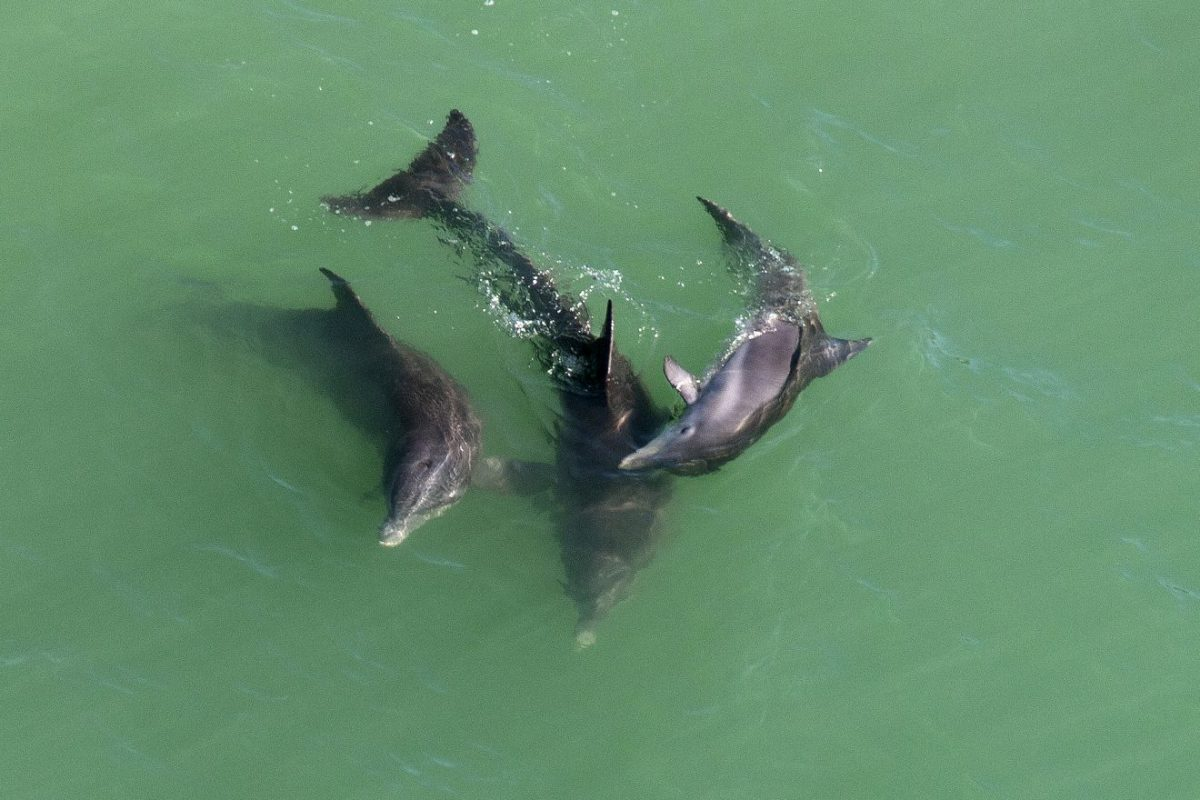 A group of dolphins in the Gulf of Mexico